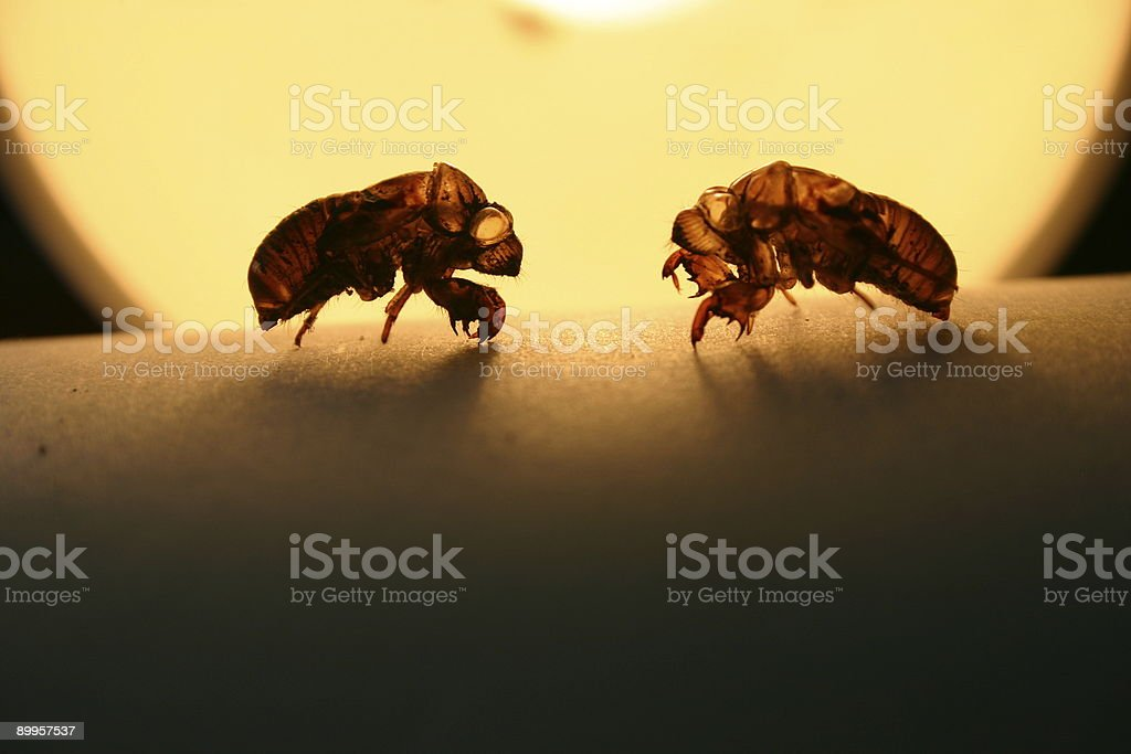 cicada exoskeletons face each other in spotlight stock photo