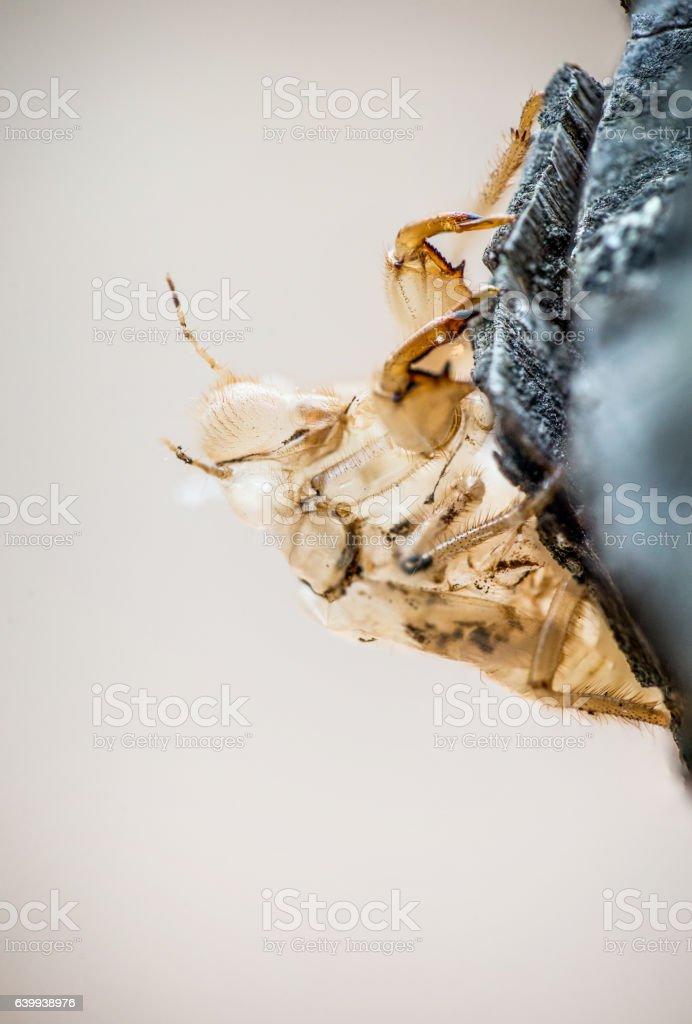Cicada Exuviae stock photo