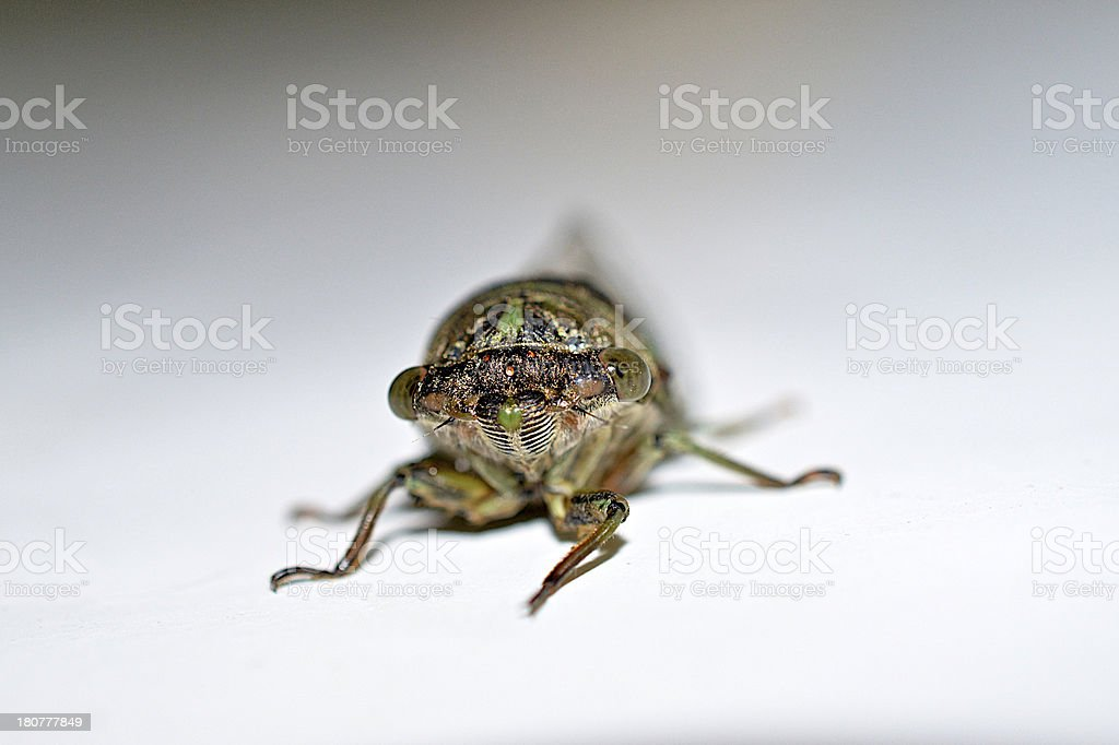 Cicada Face with Ocelli and Frons royalty-free stock photo