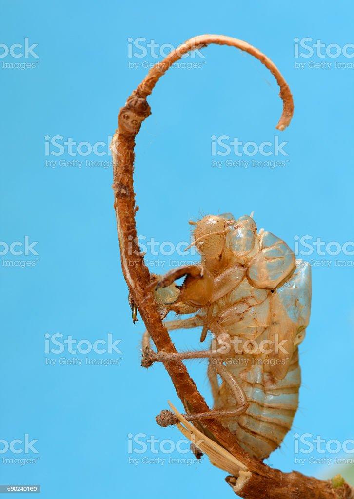 Cicada Insect Exoskeleton stock photo