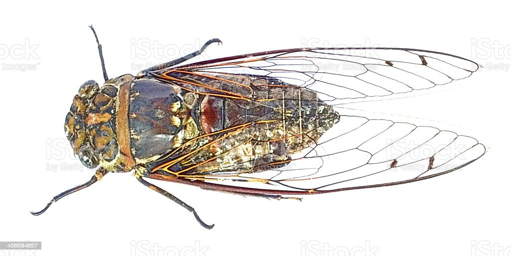 Cicada insect of Song royalty-free stock photo