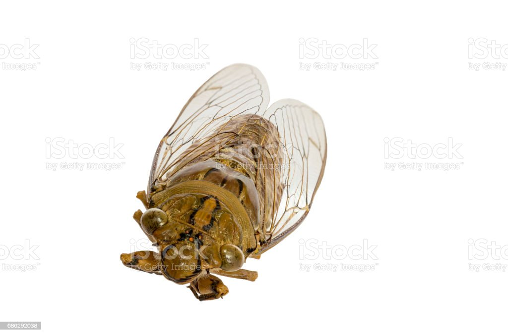 Cicada insect stock photo
