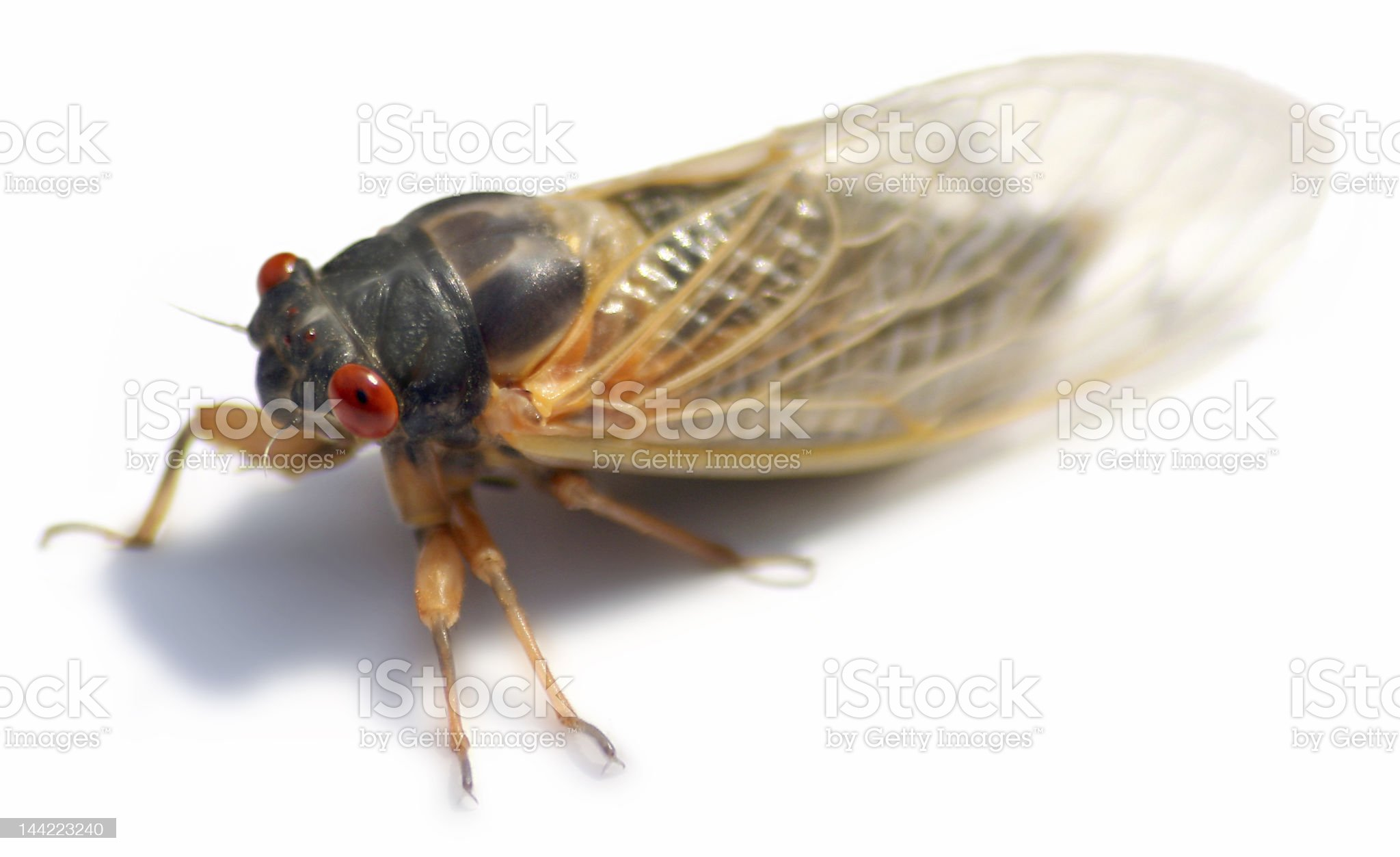 Cicada Isolated royalty-free stock photo