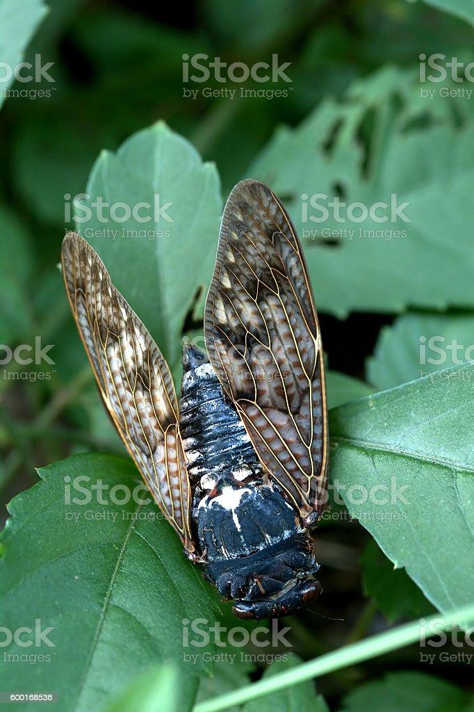 Cicada, Kyoto, Japan stock photo
