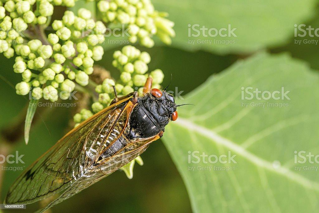 Cicada Macro royalty-free stock photo
