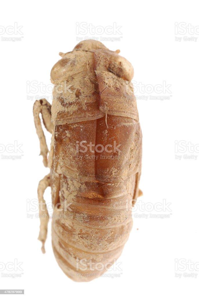 cicada molt isolated royalty-free stock photo
