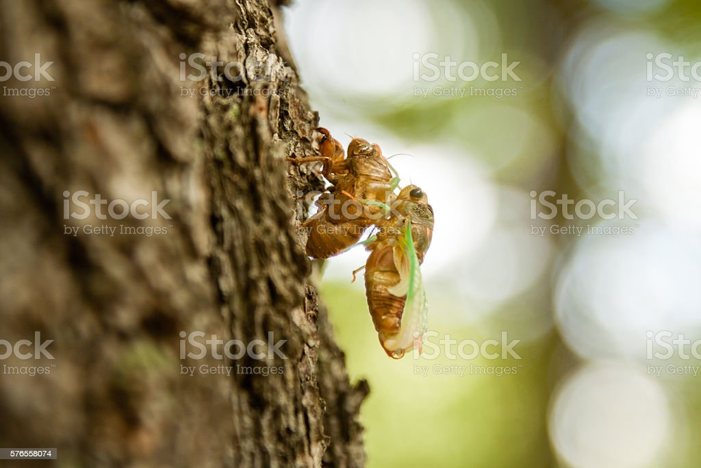 Cicada molting in summer stock photo