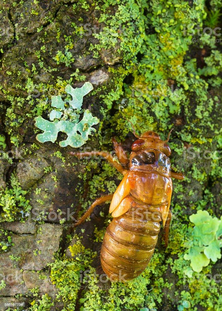 Cicada nymph stock photo