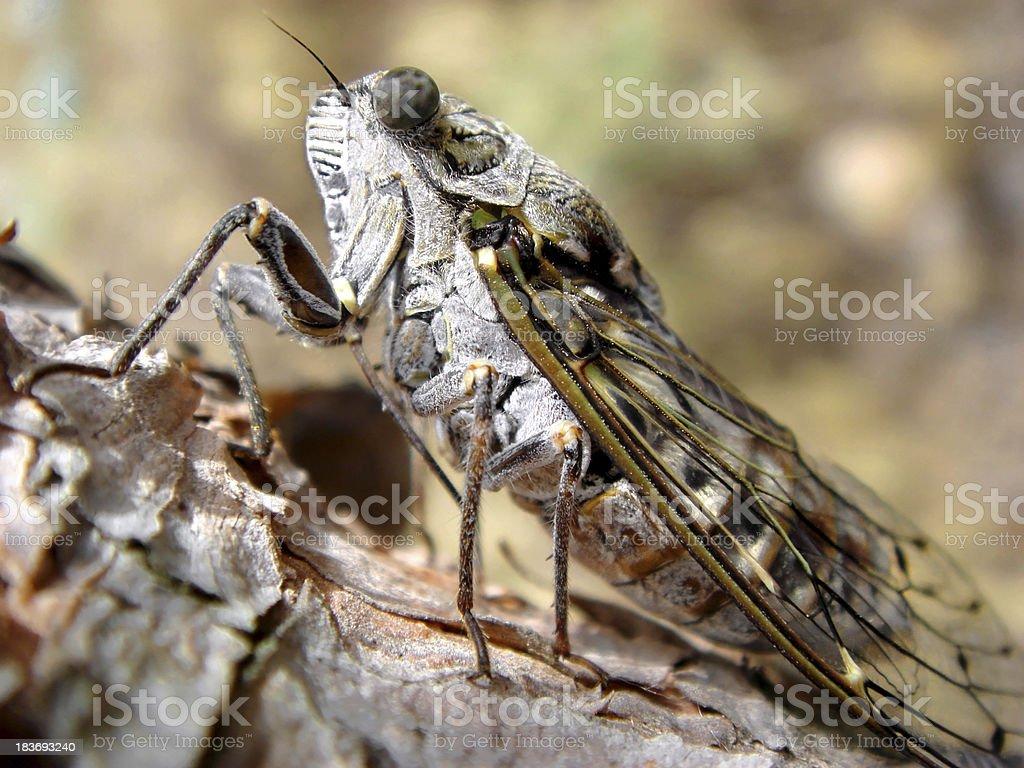 Cicada on a bark royalty-free stock photo