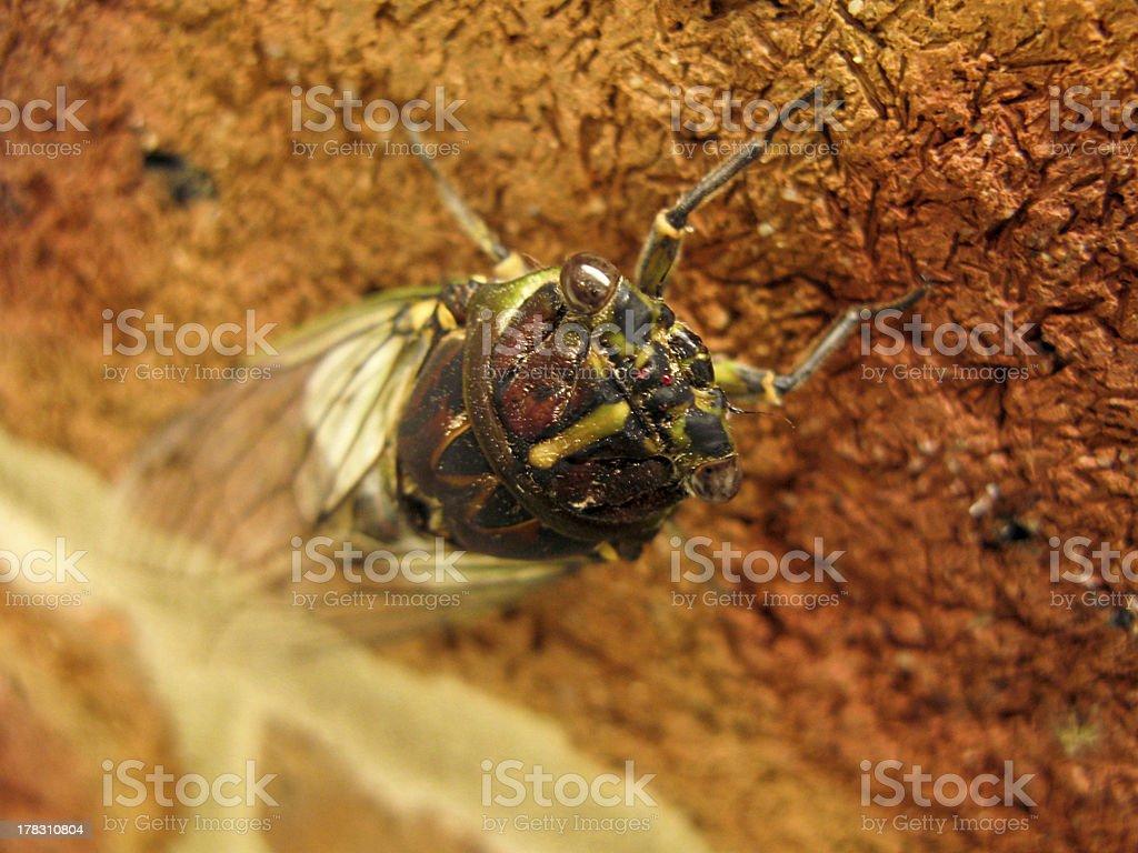 cicada on a wall in australia royalty-free stock photo