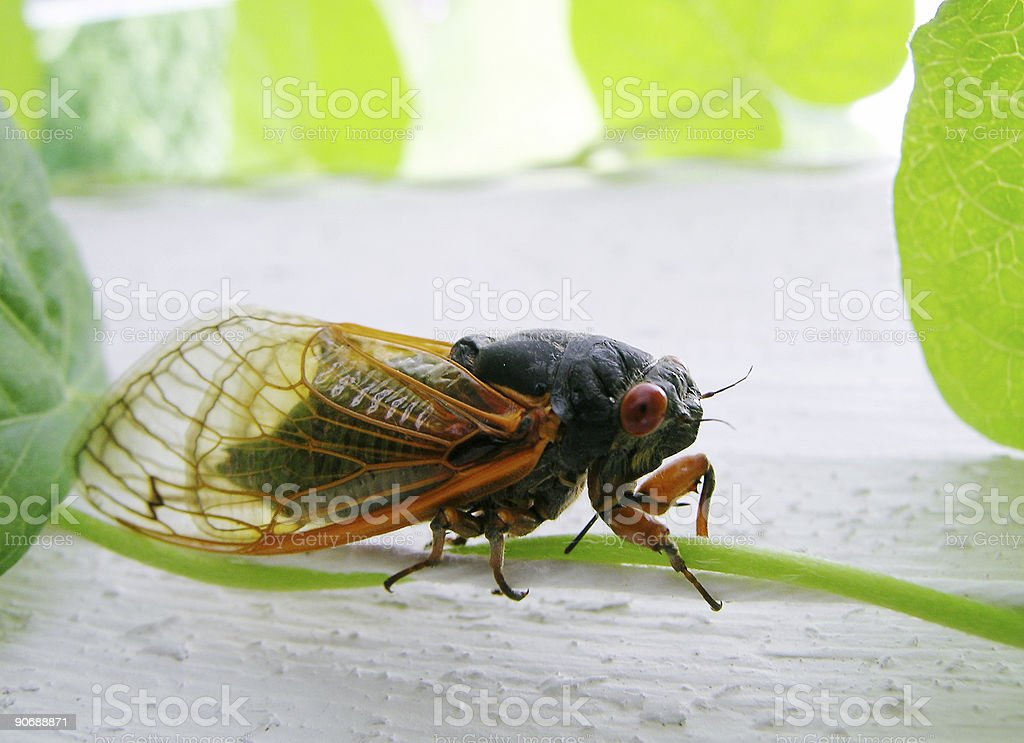 Cicada On Vine royalty-free stock photo