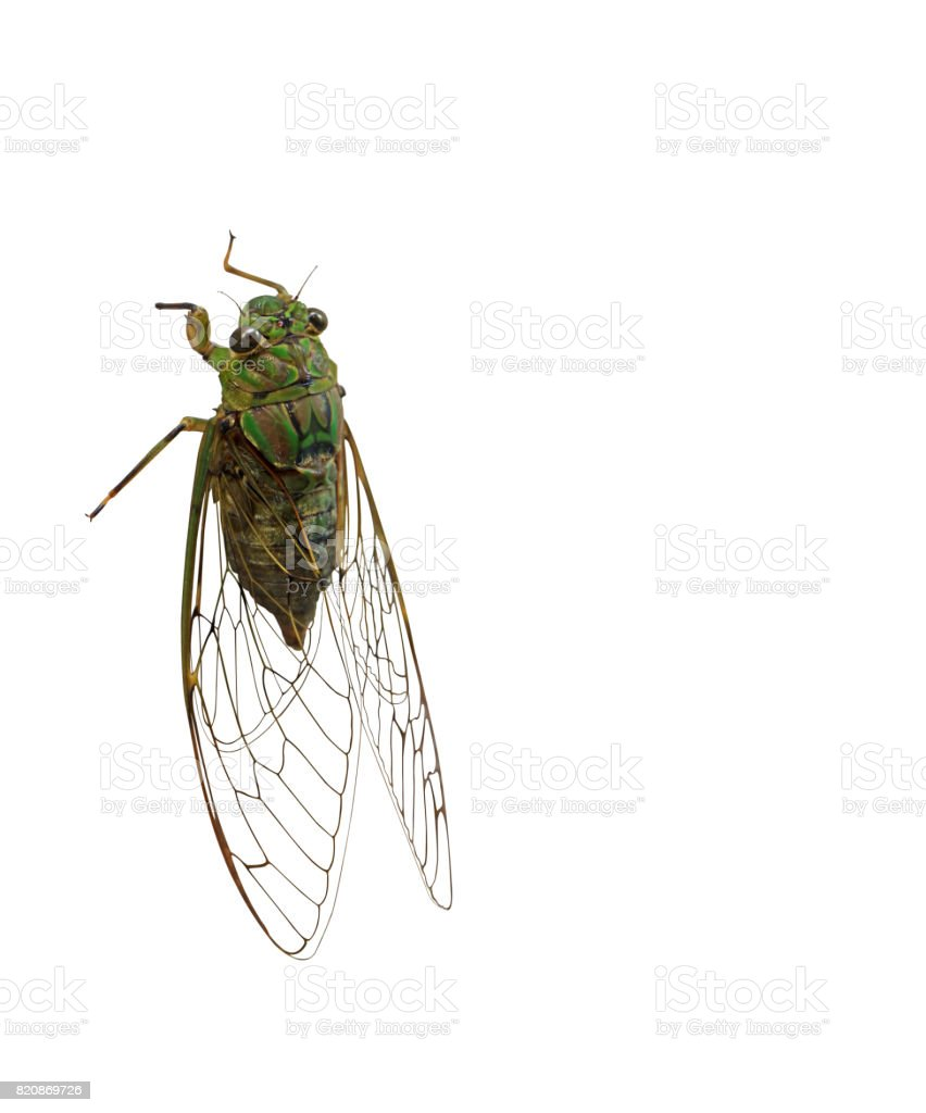 Cicada on White Background, Clipping Path Body and Transparent Wings stock photo