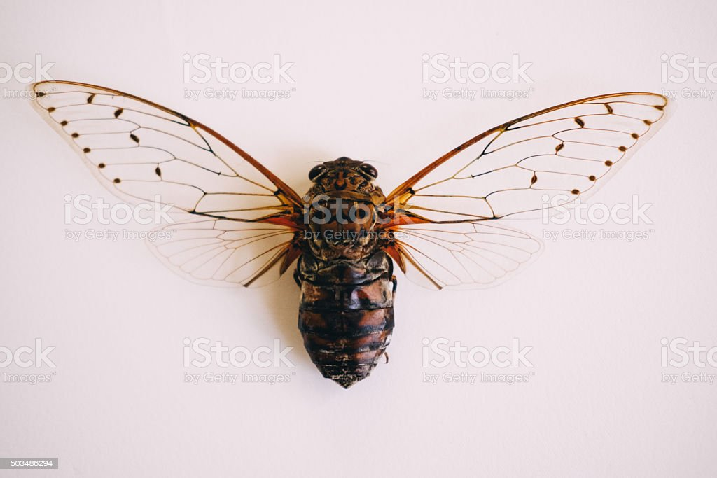 Cicada on white background stock photo