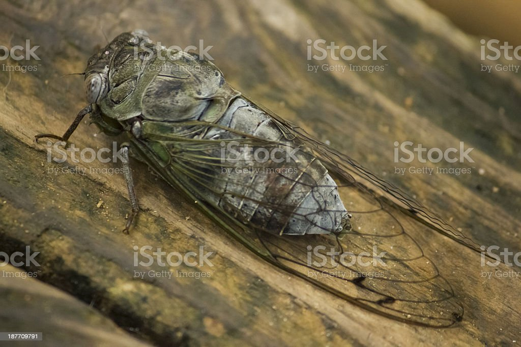 Cicada on wooden background royalty-free stock photo