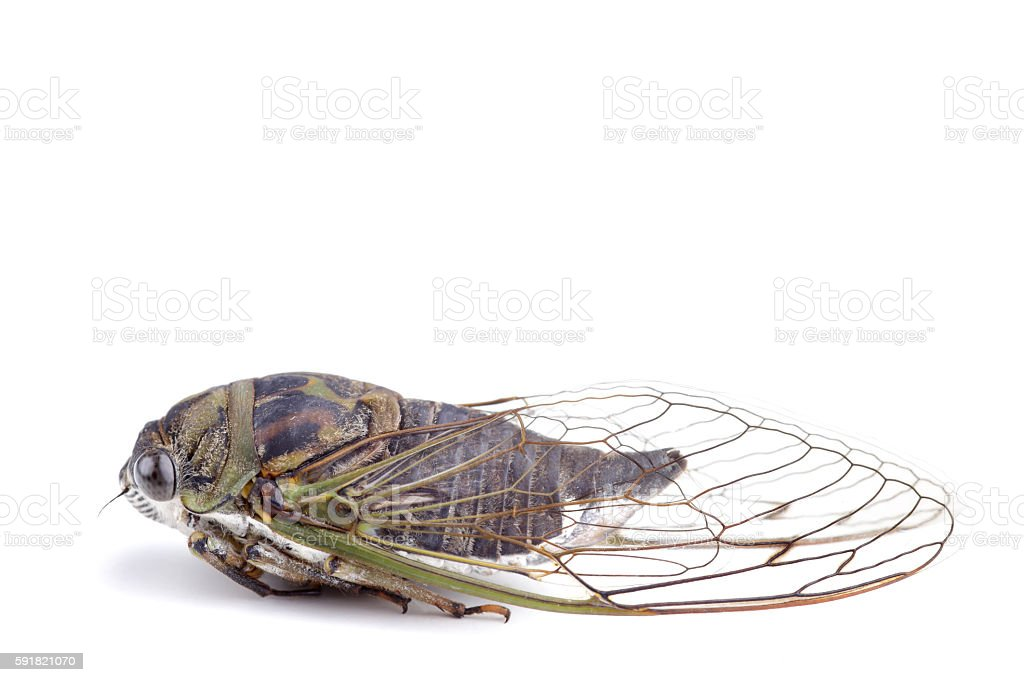 Cicada or Cicala stock photo