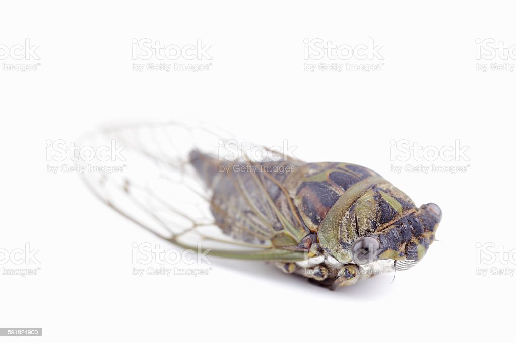 Cicada or Cicala stock photo