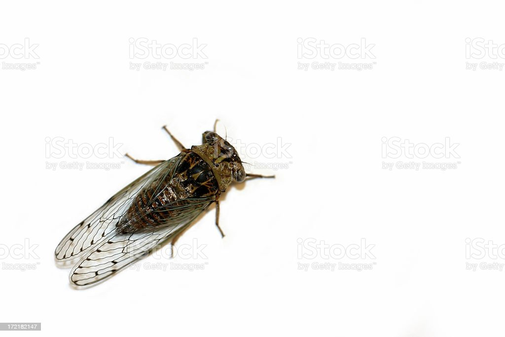 cicada royalty-free stock photo