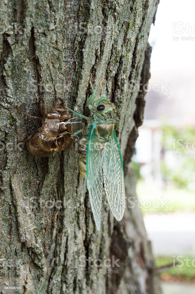 Cicada shedding it's exoskeleton stock photo