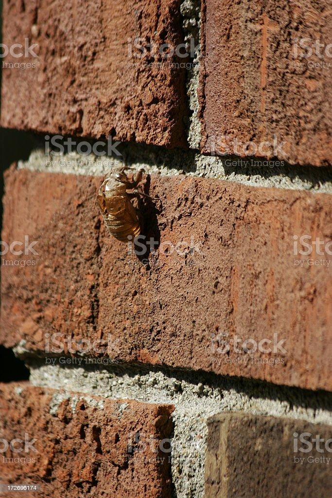 Cicada shell left behind royalty-free stock photo