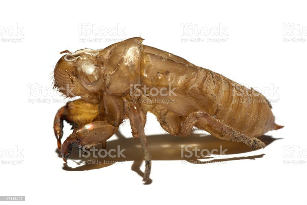 Cicada shell on a solid white background. royalty-free stock photo