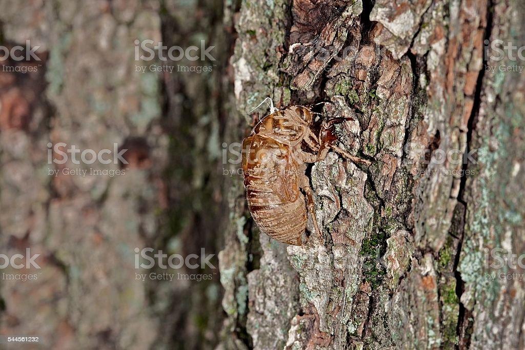 Cicada Shell stock photo