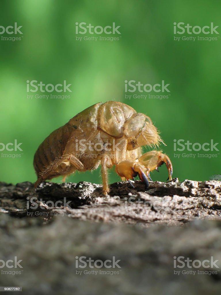Cicada Shell (Macro) royalty-free stock photo