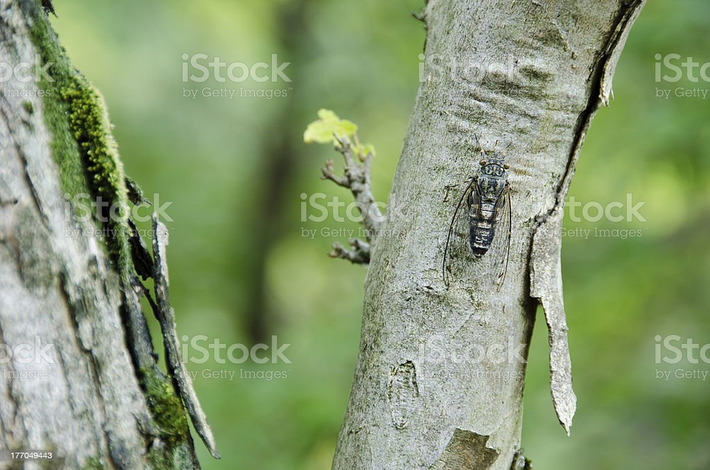 Cicada sitting on a tree and singing royalty-free stock photo