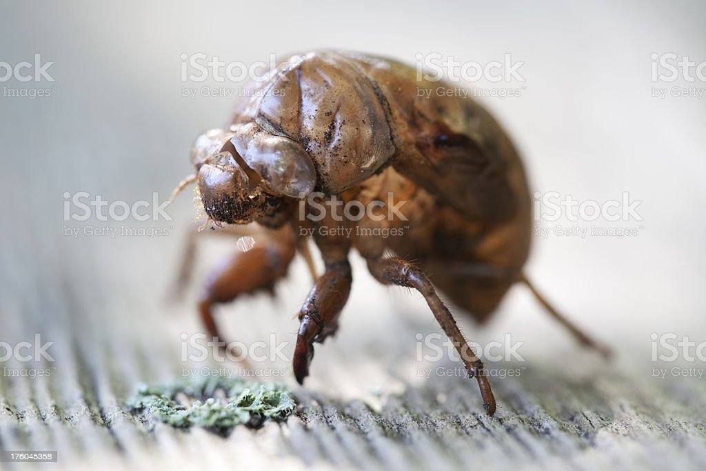 Cicada Skin, 3/4 View, Backlit royalty-free stock photo