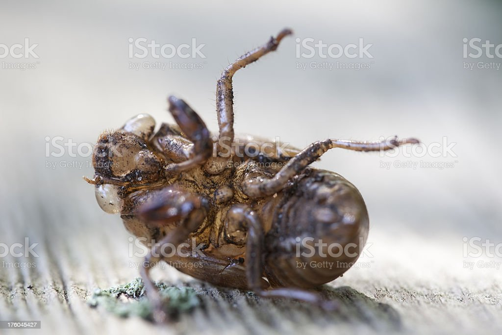 Cicada Skin, Belly View, Backlit royalty-free stock photo