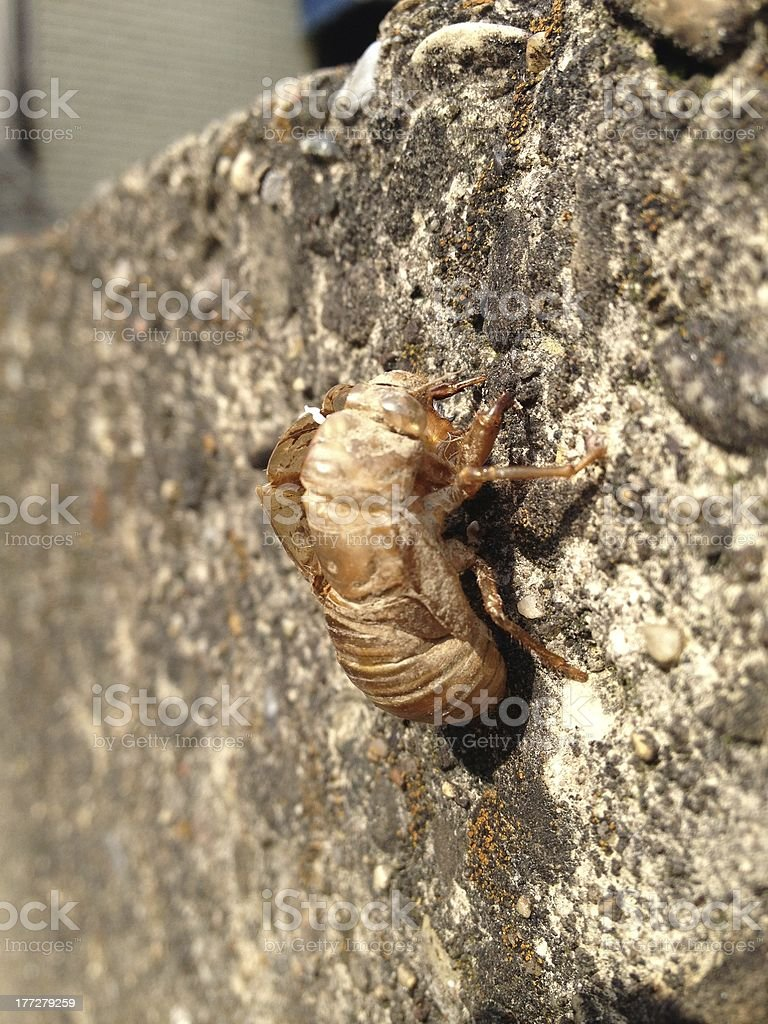 Cicada Skin royalty-free stock photo