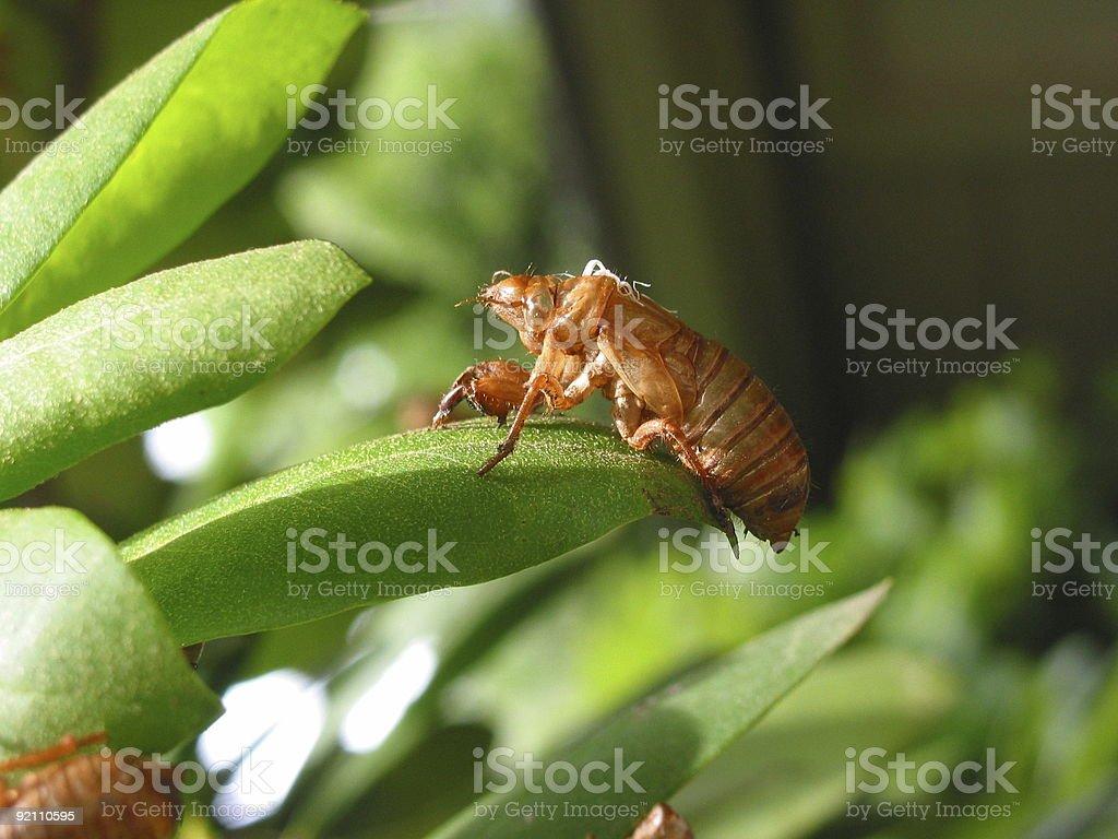 Cicada skin stock photo