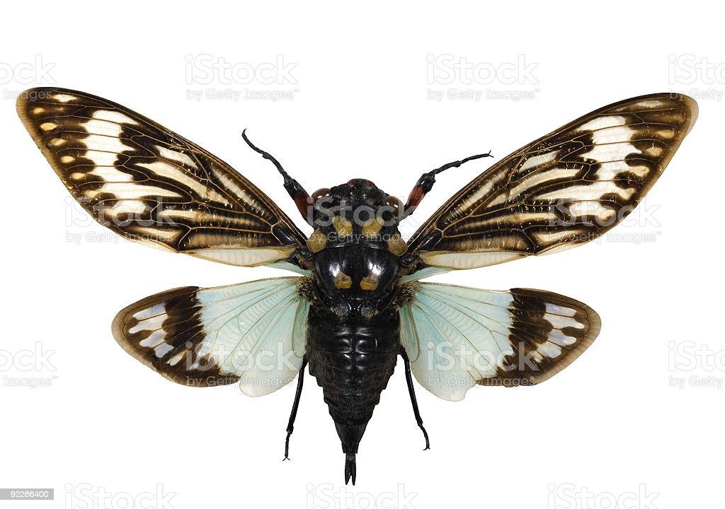 Cicada spread royalty-free stock photo