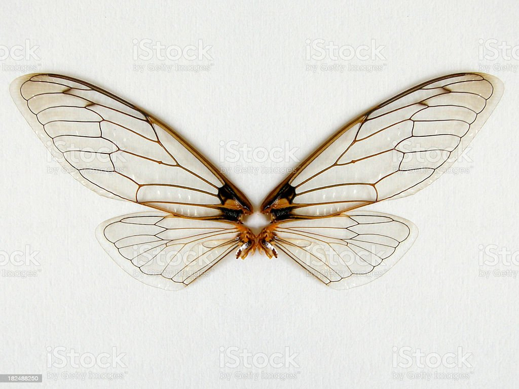 Cicada wings stock photo