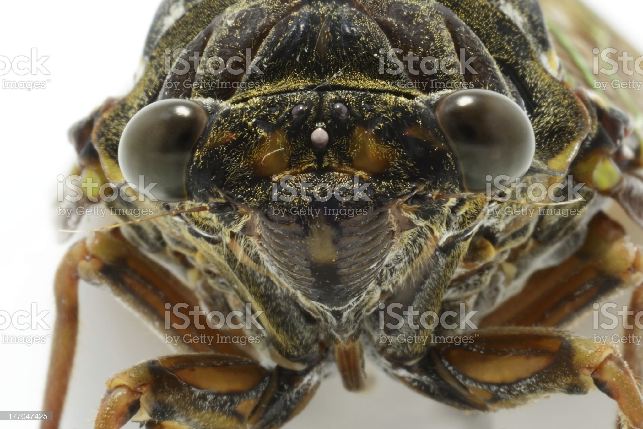cicada's face closeup royalty-free stock photo
