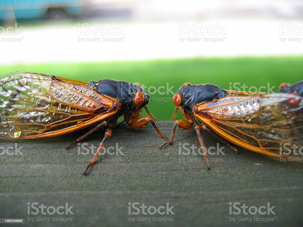 2 cicadas royalty-free stock photo