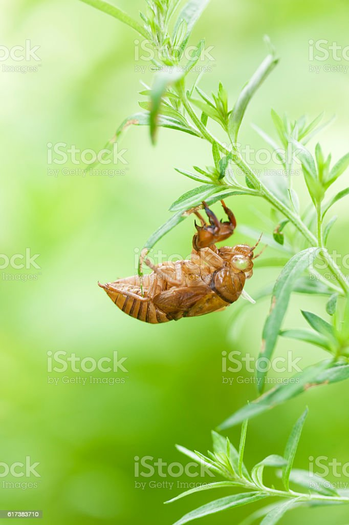 Cicada's shed skin stock photo