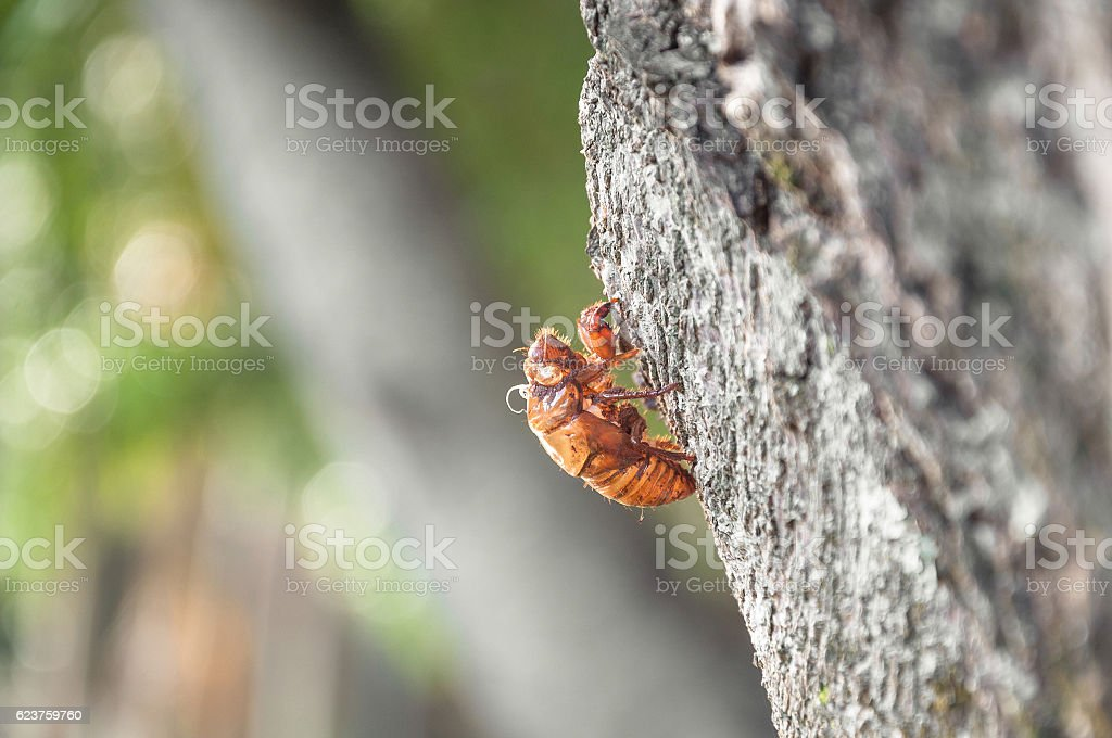 Cicada's shell attached to the tree. stock photo