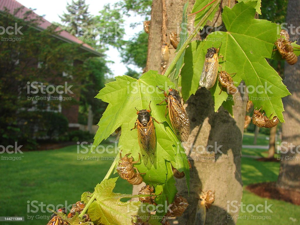 Cicada's the 17 year locusts royalty-free stock photo