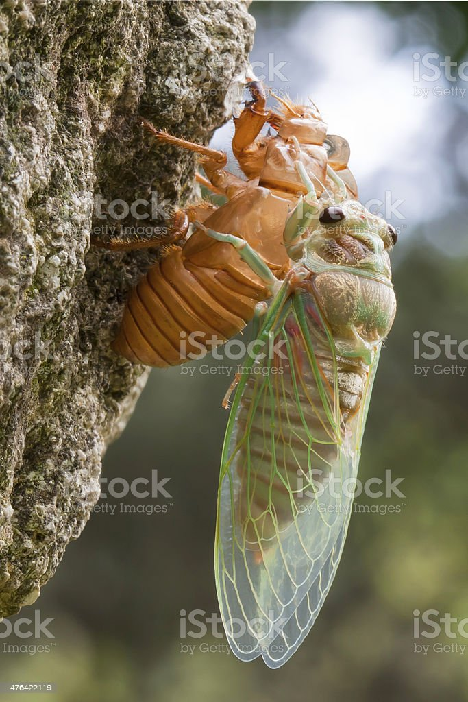 cicadidae ,rebirth royalty-free stock photo
