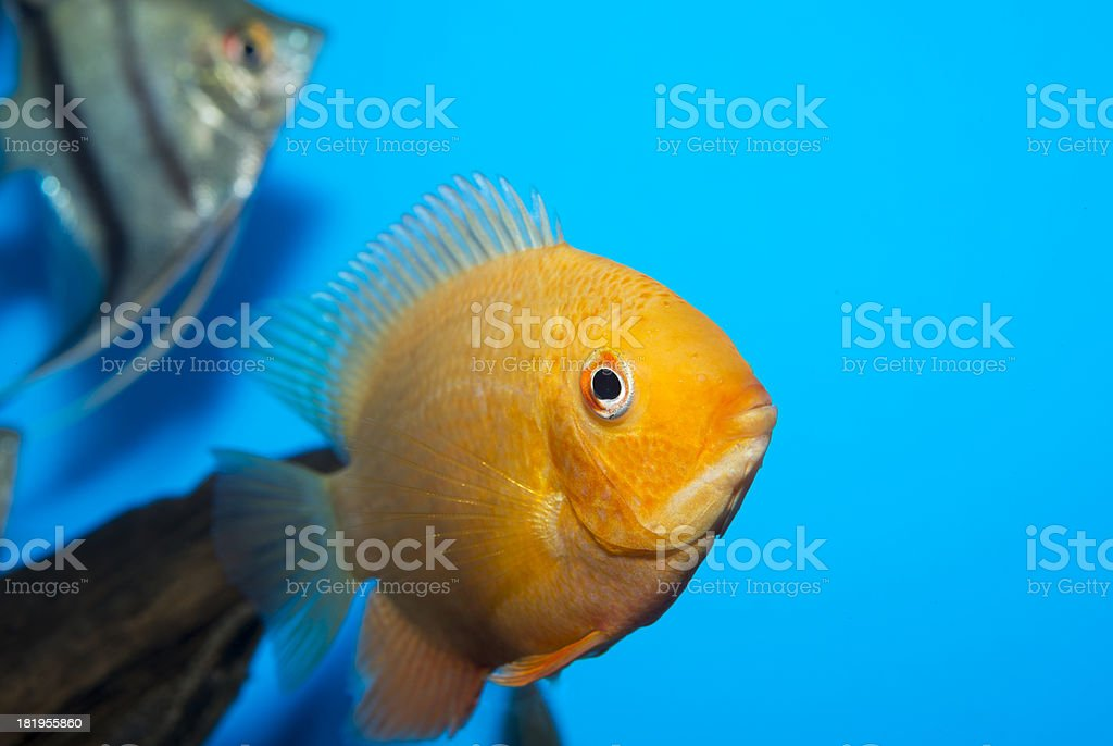 Cichlasoma citrinellum stock photo
