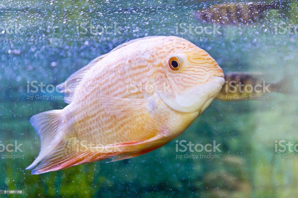 Cichlasoma severum in aquarium stock photo