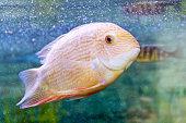 Cichlasoma severum in aquarium