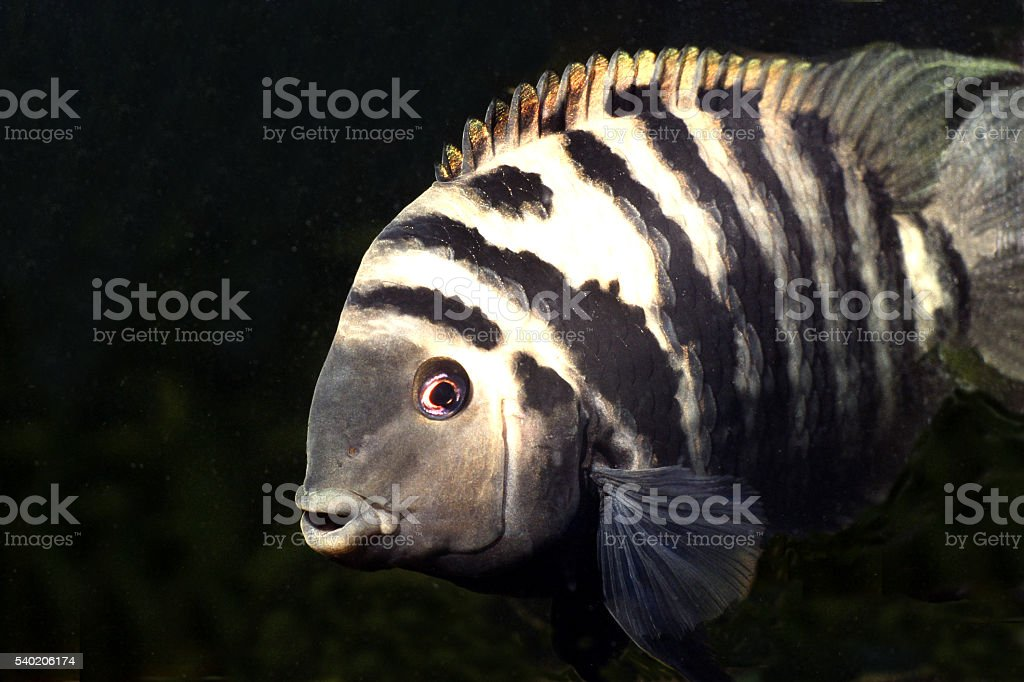 Cichlid big and powerful male from South America. stock photo