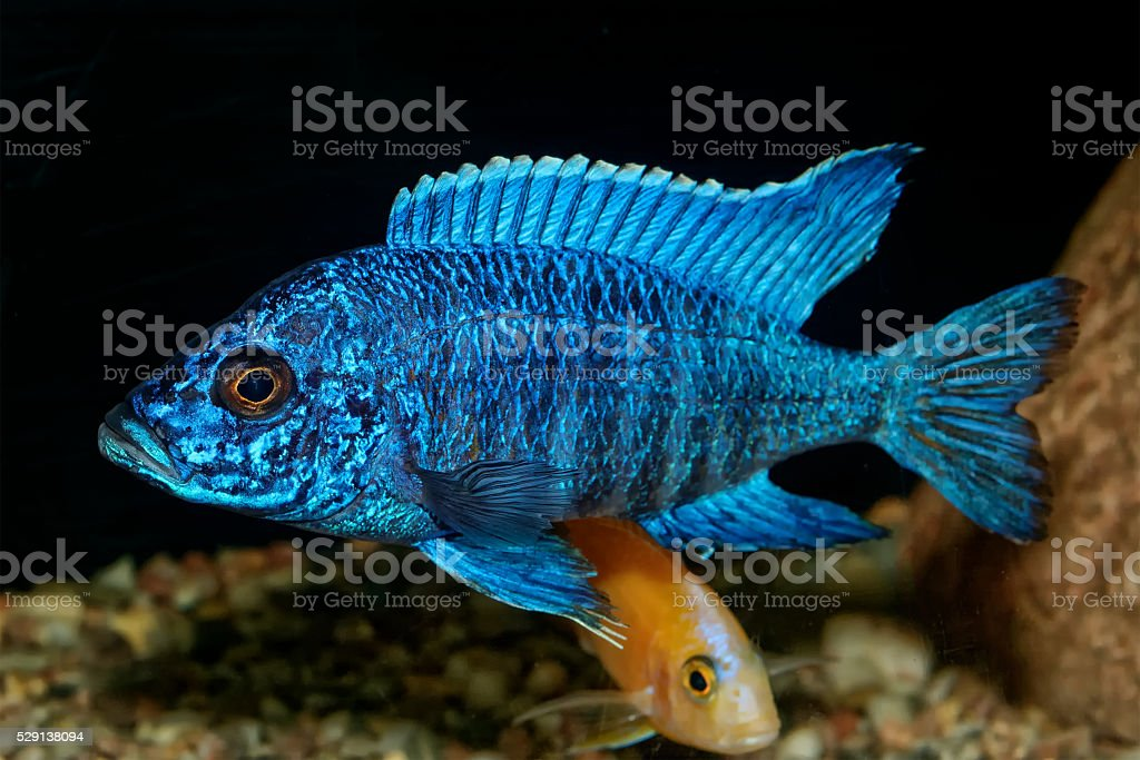 Cichlid fish from genus Aulonocara stock photo