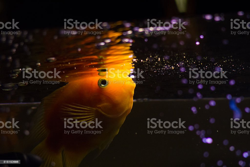 Cichlid fish in aquarium with bubbles stock photo