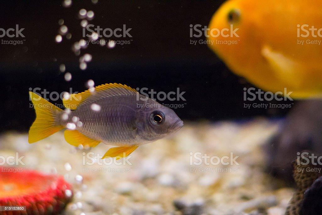 Cichlid fish in aquarium with bubbles stock photo