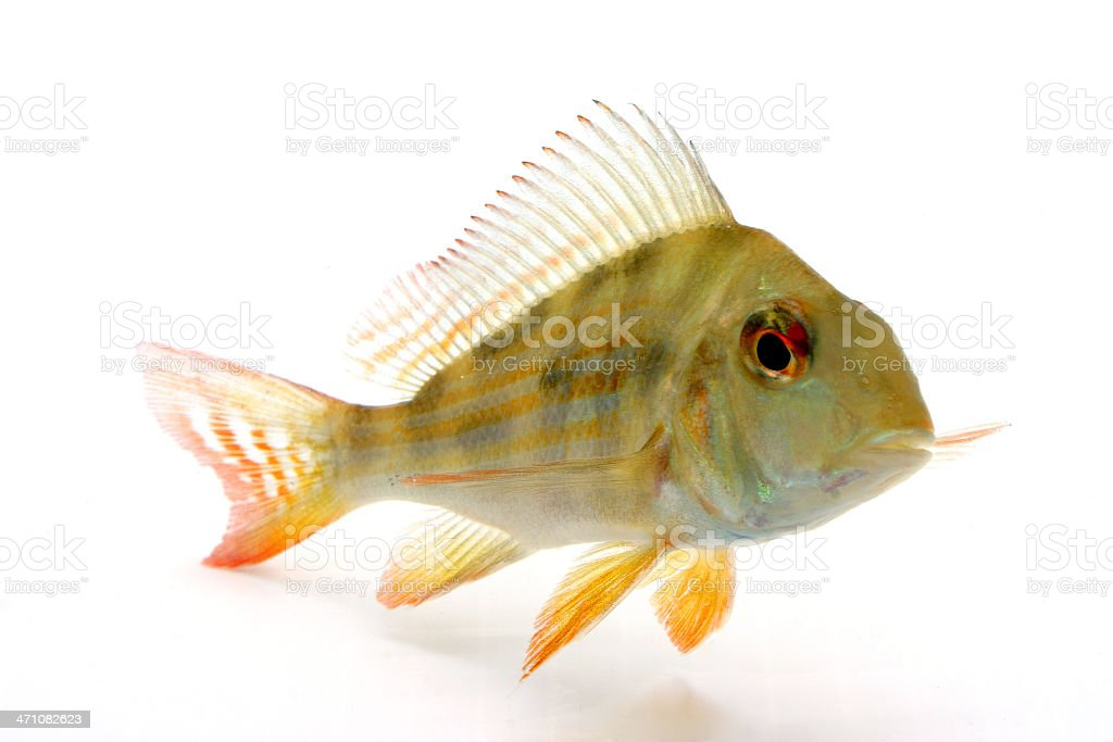 Cichlid - Geophagus Proximus royalty-free stock photo