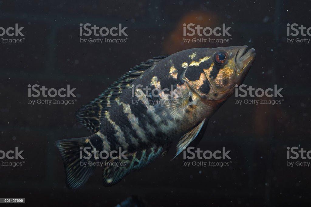 cichlid stock photo
