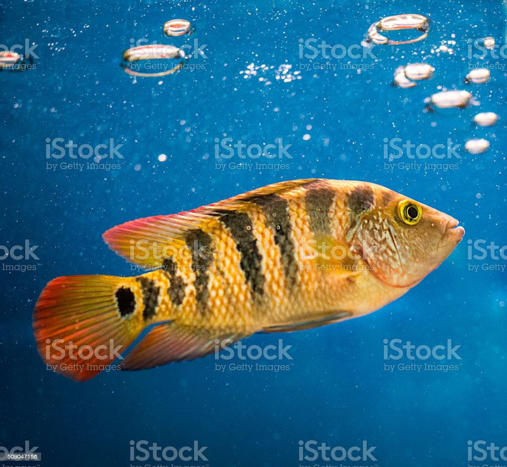 cichlid stock photo