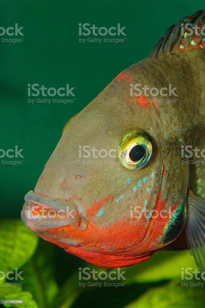 Cichlid portrait stock photo